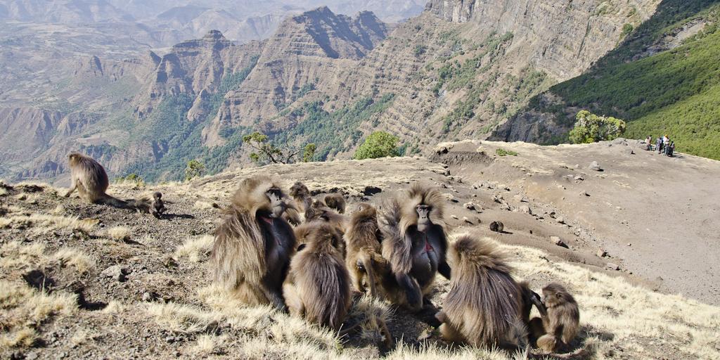Babouins gelada du Simien