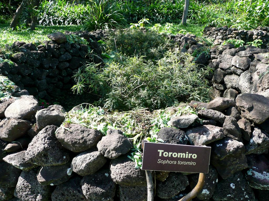 Le Toromiro, l'arbre sacré de l'île