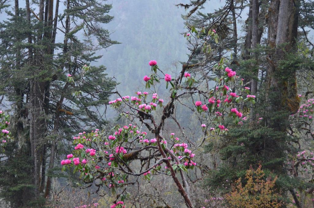 De gigantesques rhododendrons en fleur tapissent la montagne